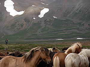 Icelandic Ponies in meadow near volcanic mountains and glacier fields, northwestern Iceland